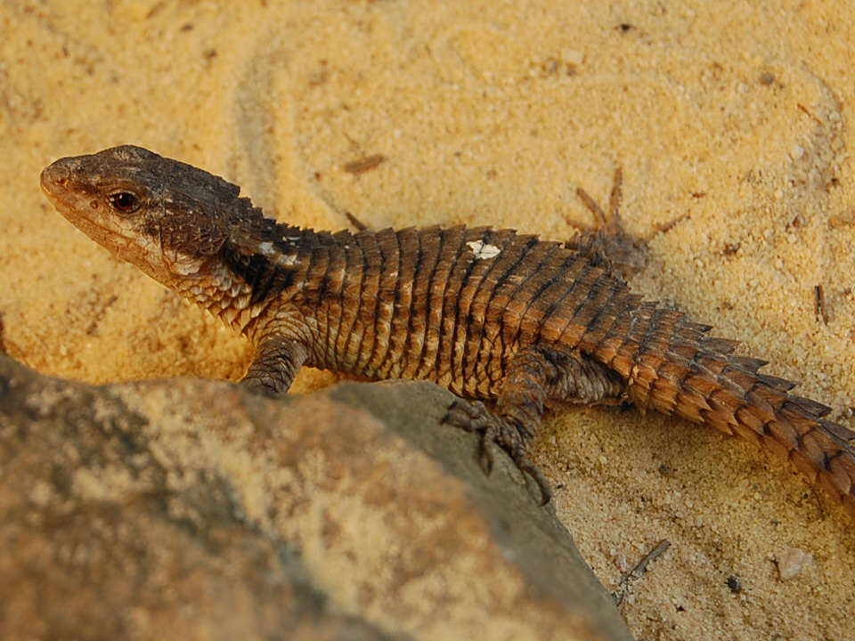 East African Spiny tailed lizard