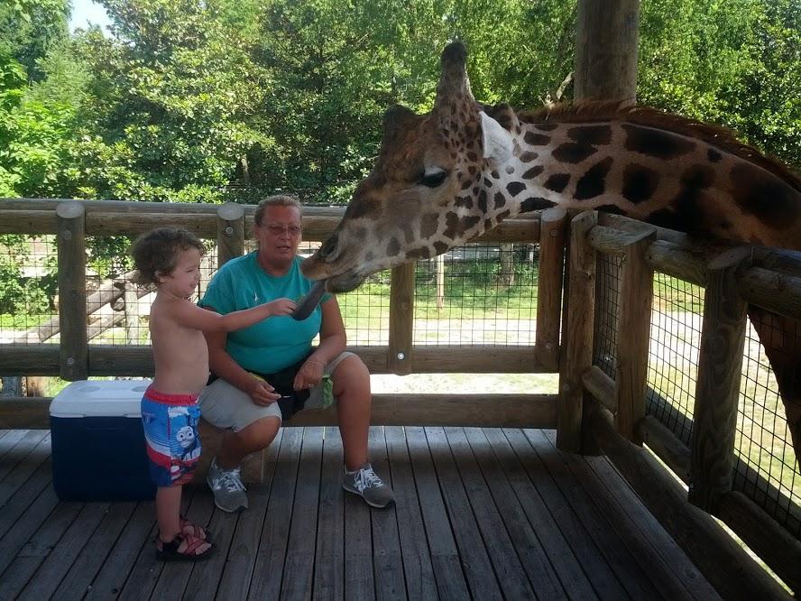 knoxville zoo giraffe