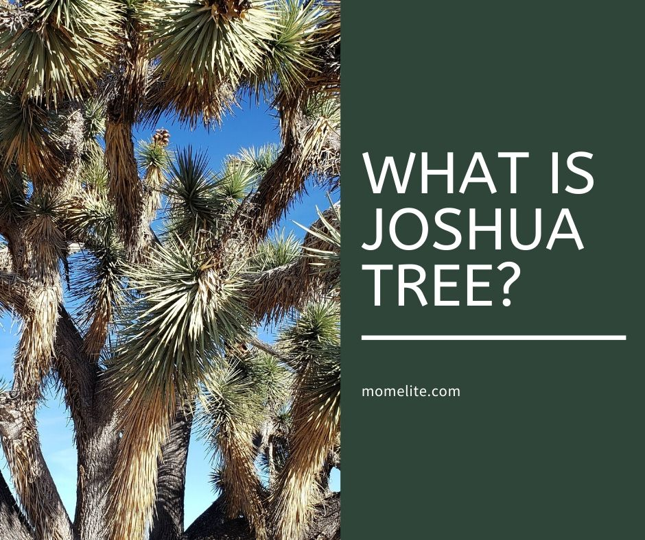 what is joshua tree
